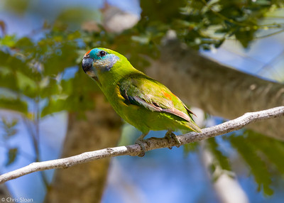 Double-eyed Fig-Parrot at Cairns Cemetary, Queensland, Australia (11-14-2018)-179-18