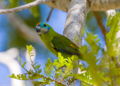 Double-eyed Fig-Parrot at Cairns Cemetary, Queensland, Australia (11-14-2018)-179-17