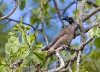 Helmeted Friarbird at Centenary Lakes, Queensland, Australia (11-14-2018)-180-168