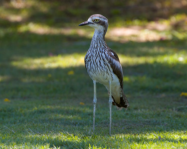 Bush Thick-Knee at Cairns Cemetary, Queensland, Australia (11-14-2018)-179-3
