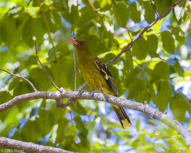 Green Oriole at Centenary Lakes, Queensland, Australia (11-14-2018)-180-145