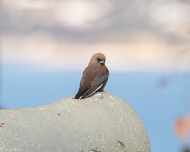 Dusky Woodswallow at Tasmania, Australia (11-28-2018)-214-24