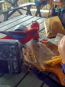 Crimson Rosella at O'Reilly's Rainforest Retreat, Lamington National Park, Queensland, Australia (11-22-2018) -11