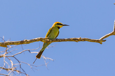 Rainbow Bee-eater at Cairns Cemetary, Queensland, Australia (11-14-2018)-179-34