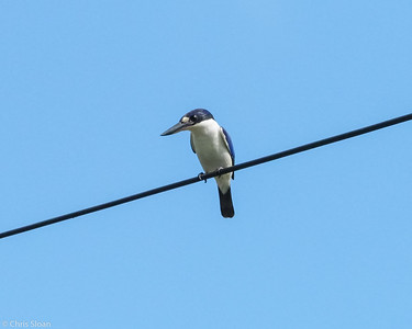Forest Kingfisher at Daintree River, Queensland, Australia (11-17-2018) 469