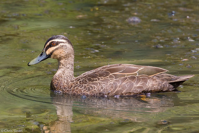 Pacific Black Duck at Centenary Lakes, Queensland, Australia (11-14-2018)-180-16