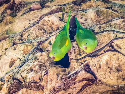 Yellow Chevroned Parakeet