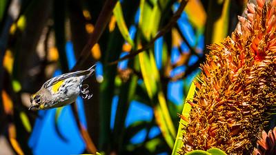 Yellow-rumped Warbler in flight