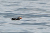 """Atlantic Puffin (Fratercula arctica)  <a href=""""http://banjon.smugmug.com/Birding/Alcids/Puffins/""""> Atlantic Puffins Gallery </a>.  A seabird species in the auk family. It is a pelagic bird that feeds primarily by diving for fish, but also eats other sea creatures, such as squid and crustaceans. Its most obvious characteristic is its brightly coloured beak during the breeding seasons. Also known as the Common Puffin, it is the only puffin species which is found in the Atlantic Ocean. The curious appearance of the bird, with its colourful huge bill and its striking piebald plumage, has given rise to nicknames such as """"clown of the ocean"""" and """"sea parrot"""".  The Atlantic Puffin is 28–34 cm (11-13.5 in) in length, with a 50–60 cm (20-24 in) wingspan. The male is generally slightly larger than the female, but they are coloured alike. This bird is mainly black above and white below, with gray to white cheeks and red-orange legs. The bill is large and triangular, and during the breeding season is bright orange with a patch of blue bordered by yellow at the rear. The characteristic bright orange bill plates grow before the breeding season and are shed after breeding. The bills are used in courtship rituals, such as the pair tapping their bills together. During flight, it appears to have grey round underwings and a white body; it has a direct flight low over the water. The related Horned Puffin (Fratercula corniculata) from the North Pacific looks very similar but has slightly different head ornaments. The Atlantic Puffin is typically silent at sea, except for soft purring sounds it sometimes makes in flight. At the breeding colonies the birds make a deep growl.  About 95% of the Atlantic puffins in North America breed around Newfoundland's coastlines. The largest puffin colony in the western Atlantic (estimated at more than 260,000 pairs) can be found at the Witless Bay Ecological Reserve, south of St. John's, Newfoundland and Labrador. Puffin viewing has also started to bec"""