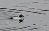 "Common Goldeneye  (Bucephala clangula) Adult female.   A medium sized sea duck of the genus Bucephala, the goldeneyes. Their closest relative is the similar Barrow's goldeneyeAdult males ranges from 45-52 cm (18-21 inches) and from 888 to 1400 grams (1.9 to 3.1 lbs), while females range from 40-50 cm (16-20 inches) and from 500 to 1182 grams (1.1 to 2.6 lbs). The species is aptly named for its golden-yellow eye. Adult males have a dark head with a greenish gloss and a circular white patch below the eye, a dark back and a white neck and belly. Adult females have a brown head and a mostly grey body. Their legs and feet are orange-yellow.  Their breeding habitat is the taiga. They are found in the lakes and rivers of boreal forests across Canada and the northern United States, Scandinavia and northern Russia . They are migratory and most winter in protected coastal waters or open inland waters at more temperate latitudes. Naturally, they nest in cavities in large trees. They will readily use nestboxes, and this has enabled a healthy breeding population to establish in Scotland where they are increasing and slowly spreading with the help of nestboxes. They are usually quite common in winter around lakes of Britain and some are being encouraged to nest in nestboxes which are put up to try and have them there all year round.  Often the natural tree cavities are made by broken limbs, unless they are made by pileated woodpeckers or black woodpeckers, the only tree-cavity-making animals who make a cavity large enough to normally accommodate a goldeneye. Average egg size is a breadth of 43.3 mm (1.7 inches), a length of 59.3 mm (2.3 inches) and a weight of 64 grams (2.3 oz). The incubation period ranges from 28 to 32 days. The female does all the incubating and is abandoned by the male about 1 to 2 weeks into incubation. The young remain in the nest for about 24-36 hours. Brood parasitism is quite common both with other common goldeneyes as well as other duck species and even tree swallow and European starling eggs have been found mixed with goldeneye eggs! The broods commonly start to mix with other females' broods as they become more independent. Goldeneye young have been known to be competitively killed by other goldeneye mothers, common loons and red-necked grebes. The young are capable of flight at 55-65 days of age.  These diving birds forage underwater. Year-round, about 32% of their prey is crustaceans, 28% is aquatic insects and 10% is molluscs. Insects are the predominant prey while nesting and crustaceans are the predominant prey during migration and winter. Locally, fish eggs and aquatic plants can be important foods. They themselves may fall prey to various hawks, owls and eagles, while females and their broods have been preyed upon by bears (Ursus spp.), various weasels (Mustela spp.), mink (Mustela vison), raccoons (Procyon lotor) and even northern flickers (Colaptes auratus) and red squirrels (Tamiasciurus husonicus).  The common goldeneye is one of the species to which the Agreement on the Conservation of African-Eurasian Migratory Waterbirds (AEWA) applies.  Approximately 188,300 common goldeneyes were killed by duck hunters in North America during the 1970s representing about 4% of the total number of ducks killed in the region during that period[citation needed]. The rate is probably similar today. Both the breeding and winter habitat of these birds has been degraded by clearance and pollution. However, this is the only duck in North America known to derive short-term benefits from lake acidification. Source: <a href=""http://en.wikipedia.org/wiki/Common_Goldeneye""> Wikipedia.org </a>.     28 December 2008"