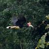 Rhinocerus Hornbill at Borneo Rainforest Lodge, Sabah, Malaysia (06-28-2016) 094-35-Edit