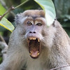 Long-tailed Macaque at Kinabatangan River in Borneo, Sukau, Sabah, Malaysia (07-03-2016) 101-193