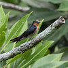 Pacific Swallow at Borneo Rainforest Lodge, Sabah, Malaysia (06-26-2016) 089-453