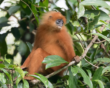 Red Leaf Monkey (Maroon Langur) at Borneo Rainforest Lodge, Sabah, Malaysia (06-26-2016) 090-28