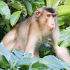 Pig-tailed Macaque at Kinabatangan River in Borneo, Sukau, Sabah, Malaysia (07-03-2016) 101-273