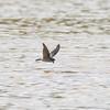 Glossy Swiftlet at Kinabatangan River in Borneo, Sukau, Sabah, Malaysia (07-03-2016) 101-40