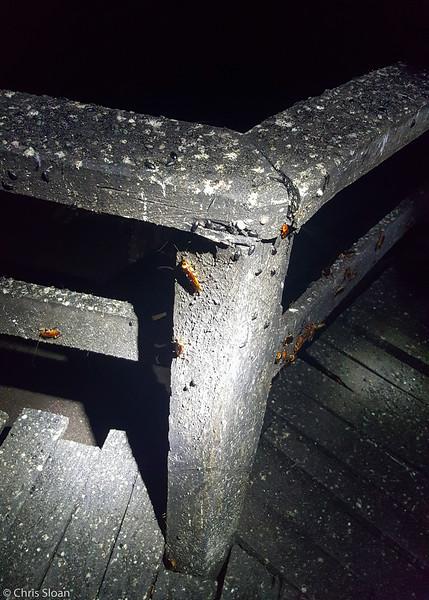 Roaches at Gomantang Caves, Sabah, Malaysia (07-02-2016) dng-9