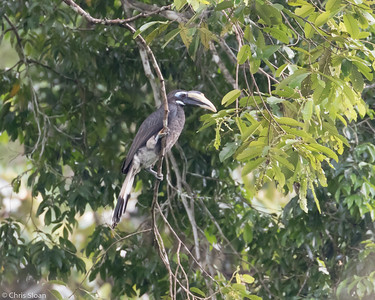Bushy-crested Hornbill female at Borneo Rainforest Lodge, Sabah, Malaysia (06-26-2016) 089-45