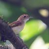 Ferruginous Babbler at Borneo Rainforest Lodge, Sabah, Malaysia (06-27-2016) 091-49