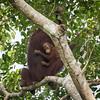 Orangutan mother and baby at Kinabatangan River in Borneo, Sukau, Sabah, Malaysia (07-03-2016) 101-121