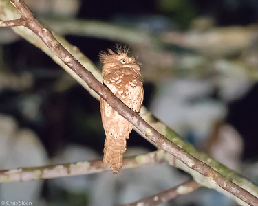 Blyth's Frogmouth at Borneo Rainforest Lodge, Sabah, Malaysia (06-26-2016) 090-241