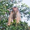 Pig-tailed Macaque at Kinabatangan River in Borneo, Sukau, Sabah, Malaysia (07-03-2016) 101-232