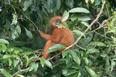 Red Leaf Monkey (Maroon Langur) at Borneo Rainforest Lodge, Sabah, Malaysia (06-26-2016) 090-20