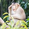 Pig-tailed Macaque at Kinabatangan River in Borneo, Sukau, Sabah, Malaysia (07-03-2016) 101-238