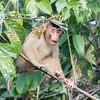 Pig-tailed Macaque at Kinabatangan River in Borneo, Sukau, Sabah, Malaysia (07-03-2016) 101-210