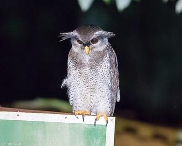 Barred Eagle-Owl at Borneo Rainforest Lodge, Sabah, Malaysia (06-26-2016) 090-227