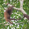 Orangutan mother and baby at Kinabatangan River in Borneo, Sukau, Sabah, Malaysia (07-03-2016) 101-159