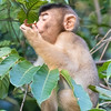 Pig-tailed Macaque at Kinabatangan River in Borneo, Sukau, Sabah, Malaysia (07-03-2016) 101-246