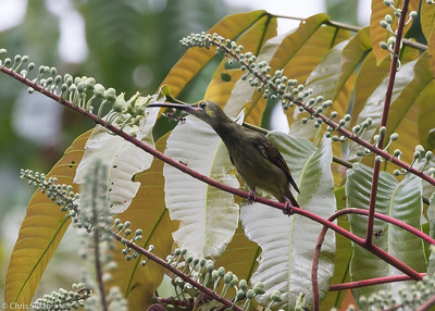 Yellow-eared Spiderhunter at Borneo Rainforest Lodge, Sabah, Malaysia (06-26-2016) 089-285