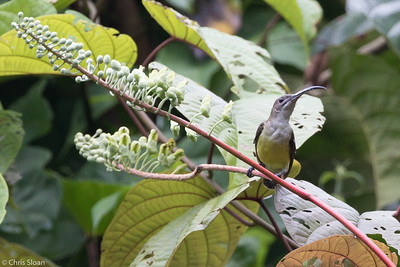 Little Spiderhunter at Borneo Rainforest Lodge, Sabah, Malaysia (06-26-2016) 089-290