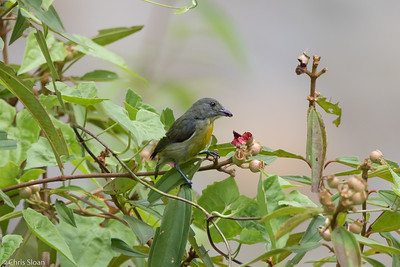 Yellow-rumped Flowerpecker female at Borneo Rainforest Lodge, Sabah, Malaysia (06-26-2016) 089-493