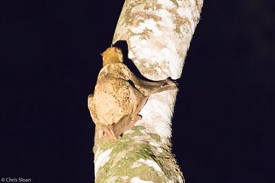 Sunda Flying Lemur (Colugo) at Borneo Rainforest Lodge, Sabah, Malaysia (06-26-2016) 090-129