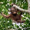 Orangutan mother and baby at Kinabatangan River in Borneo, Sukau, Sabah, Malaysia (07-03-2016) 101-149