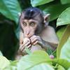 Pig-tailed Macaque at Kinabatangan River in Borneo, Sukau, Sabah, Malaysia (07-03-2016) 101-278