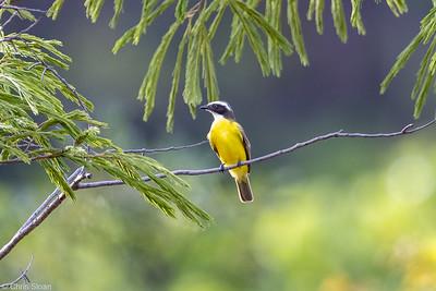 Social Flycatcher at Arajara Park, Ceara, Brazil (11-28-2020)-376-186