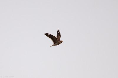 Least Nighthawk at Sitio Pau Preto, Ceara, Brazil (11-29-2020)-378-14