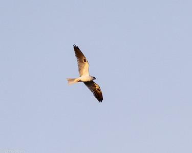 White-tailed Kite at Sitio Pau Preto, Ceara, Brazil (11-28-2020)-377-66