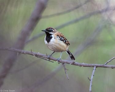 Stripe-backed Antbird at Sitio Pau Preto, Ceara, Brazil (11-29-2020)-378-28-Edit