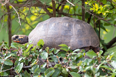 Tortoise at Arajara Park, Ceara, Brazil (11-28-2020)-376-168