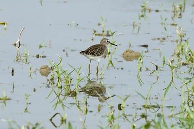 Wood Sandpiper at Long Valley, Hong Kong, China (11-8-08)