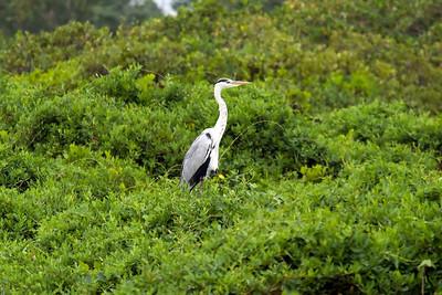 Gray Heron (1) at Mai Po, Hong Kong, China (11-8-08)