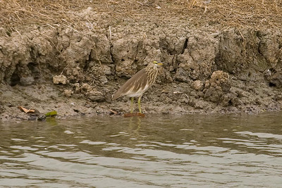 Chinese Pond-Heron (3) at Mai Po, Hong Kong, China (11-8-08)