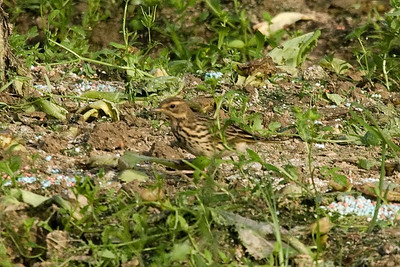 Red-throated Pipit (2) at Long Valley, Hong Kong, China (11-8-08)