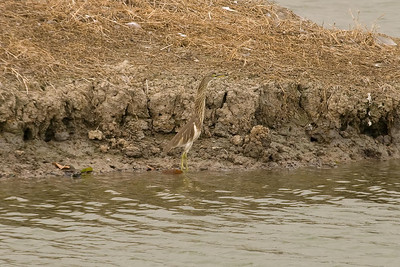 Chinese Pond-Heron (1) at Mai Po, Hong Kong, China (11-8-08)