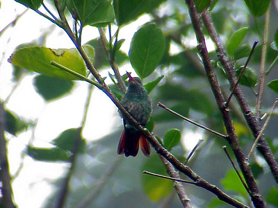 Rufous-tailed Hummingbird at La Paz Waterfall Gardens Costa Rica 2-10-03-1 (50898254)