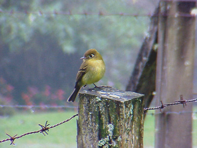 Yellowish Flycatcher at Poas Volcano Lodge Costa Rica 2-10-03 (50898459)